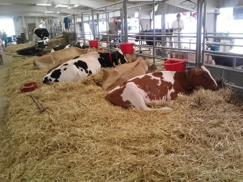 our cows relaxing on their bed