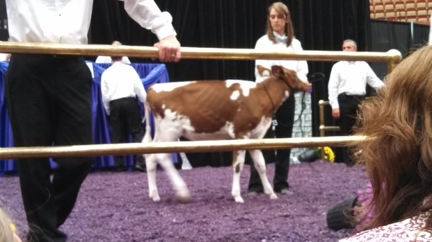 Oconnors Aikman Scarlet, the best genetic Red & White Holstein in the world