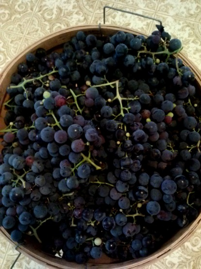 our fresh picked grapes