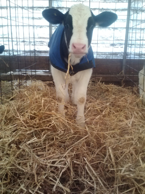 One of calves warm with her blanket and straw bedding