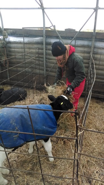 Caring for Cows in the Winter: Adding fresh bedding (https://thefarmingdaughter.com/2015/03/09/caring-for-cows-in-the-winter/)