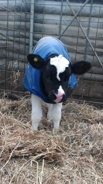 Caring for Cows in the Winter: Calf coats (https://thefarmingdaughter.com/2015/03/09/caring-for-cows-in-the-winter/)