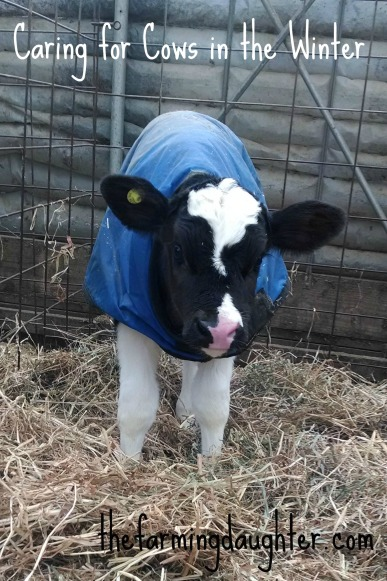 Caring for Cows in the Winter (https://thefarmingdaughter.com/2015/03/10/caring-for-cows-in-the-winter/)